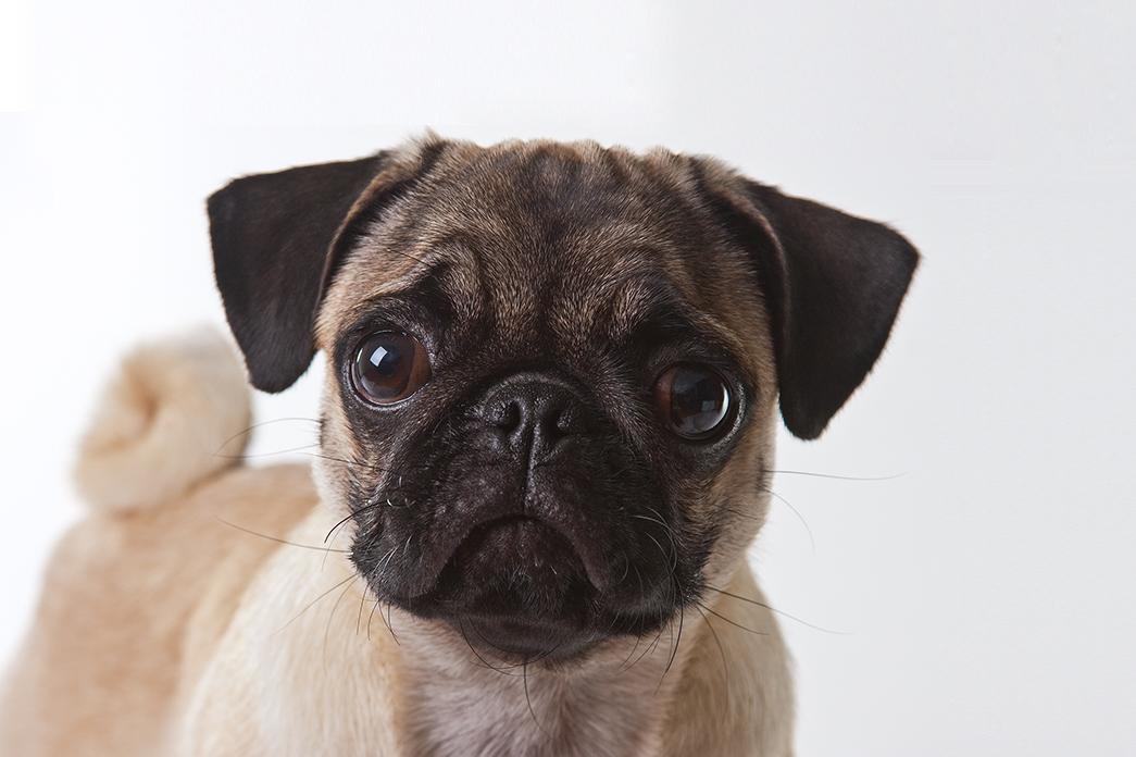 Somente mamíferos são capazes de transmitir a raiva. Cães e gatos são as principais fontes de infecção em áreas urbanas.