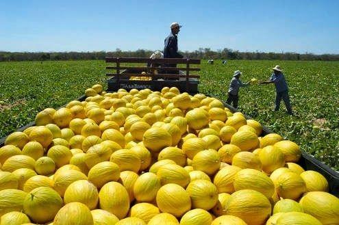 Exportação de melão do Ceará